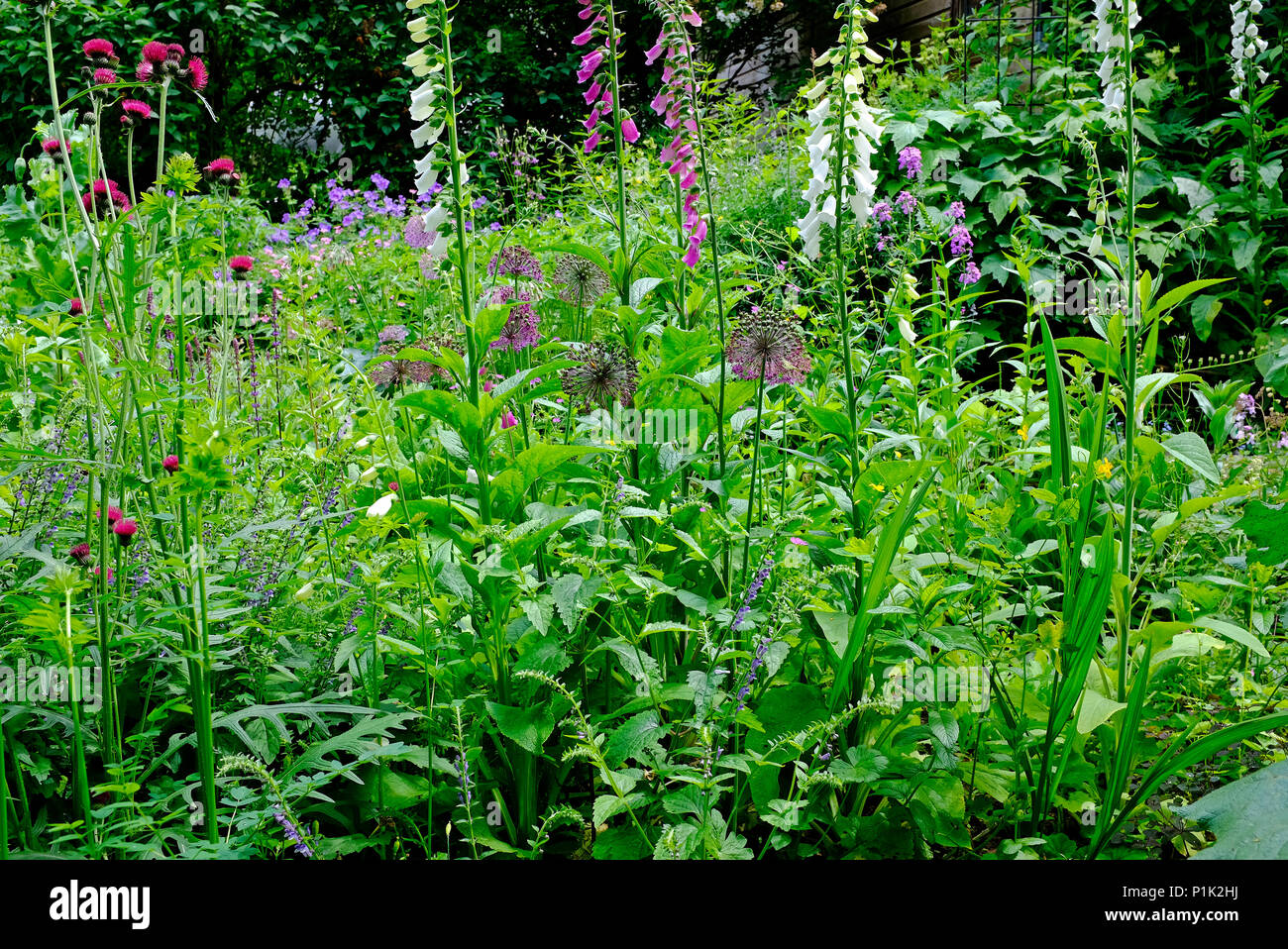 mixed wildflowers in english country cottage garden, north norfolk, england - Stock Image