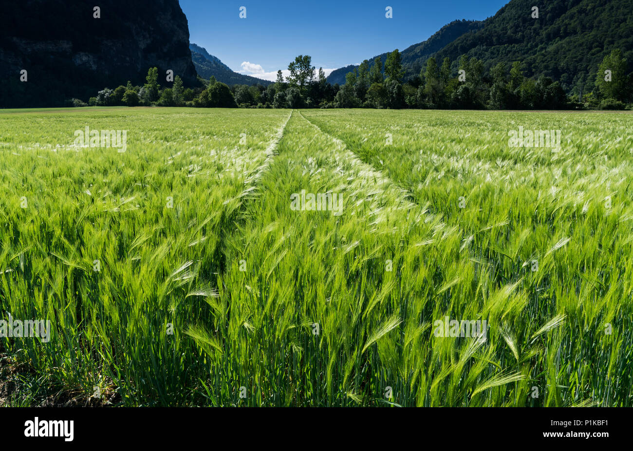 expansive wheat field in lustrous green with a forest in the background Stock Photo