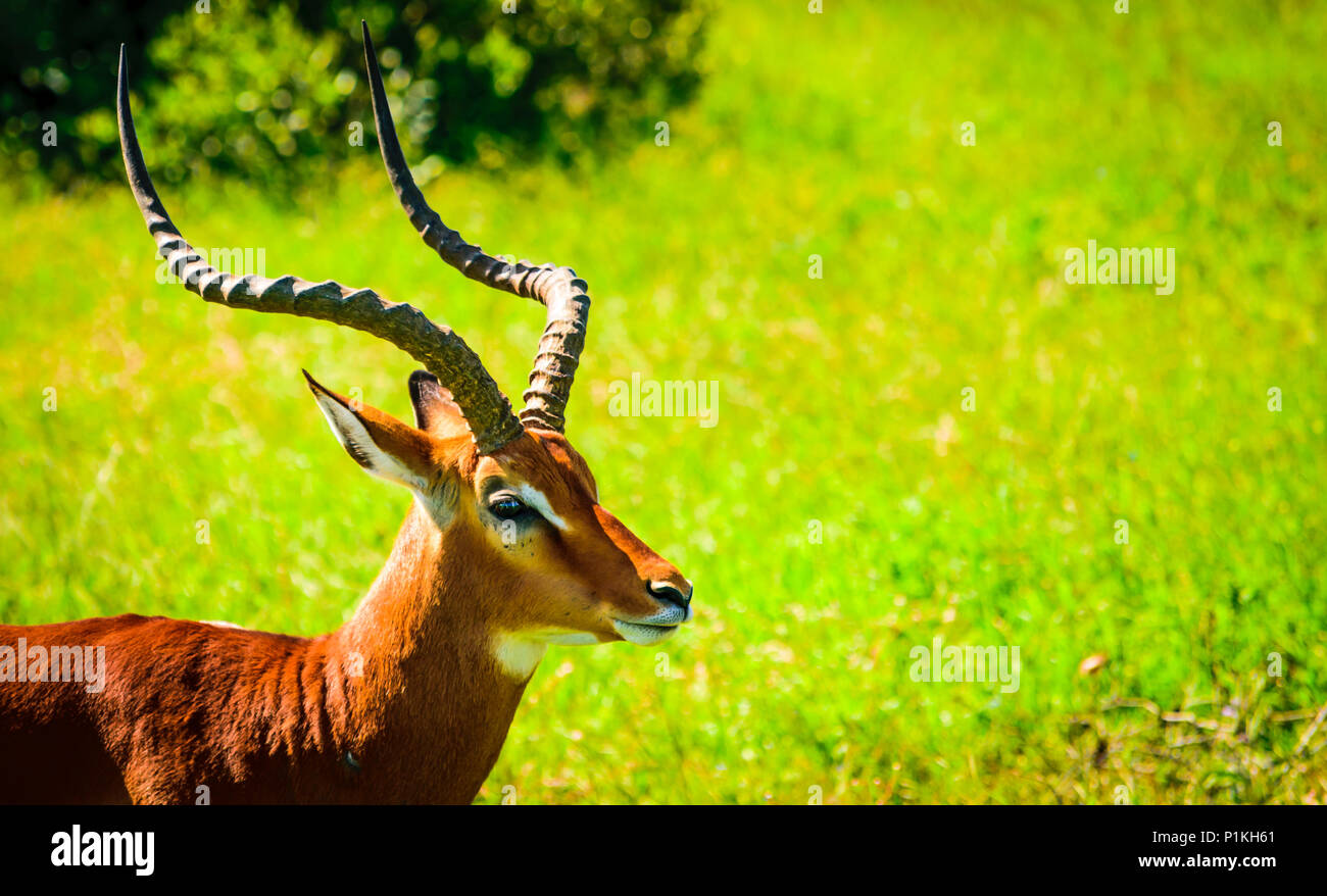 A closeup shot of an impala. They have quite majestic horns - Stock Image
