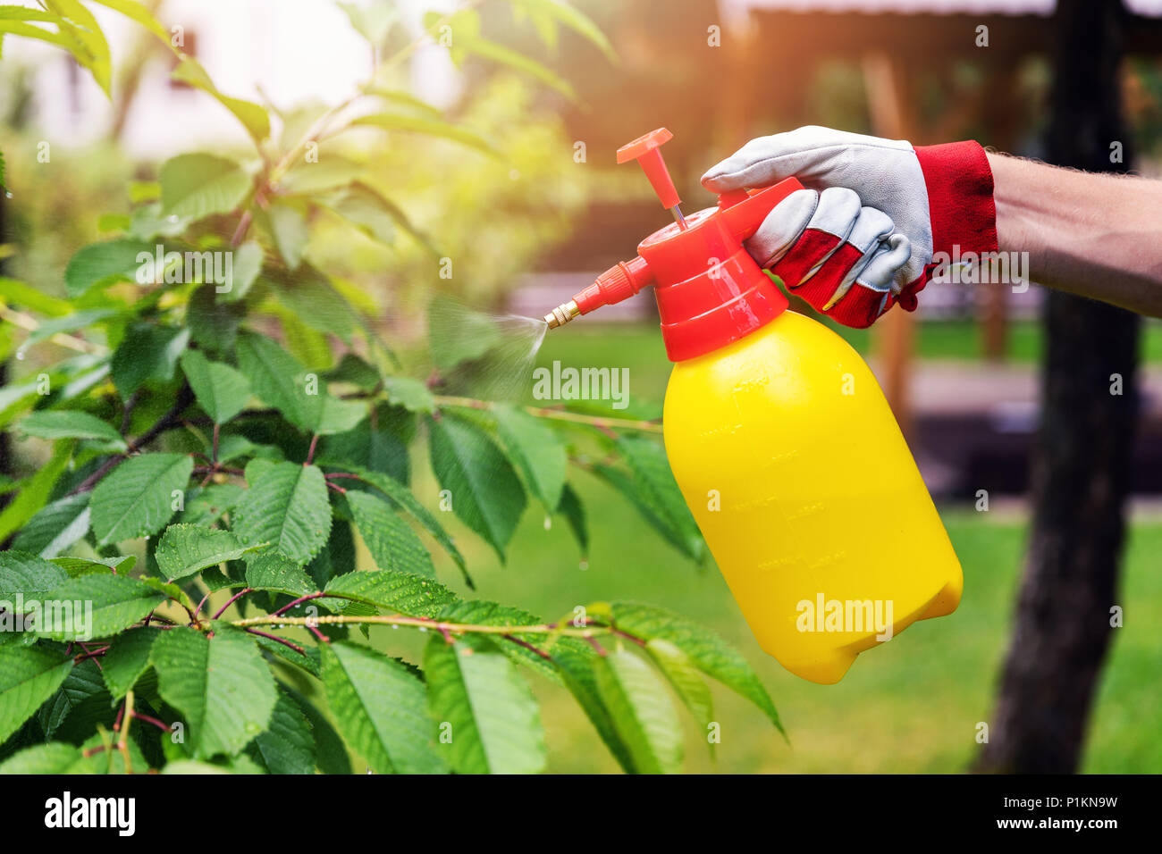gardener spraying cherry tree against pests and diseases - Stock Image