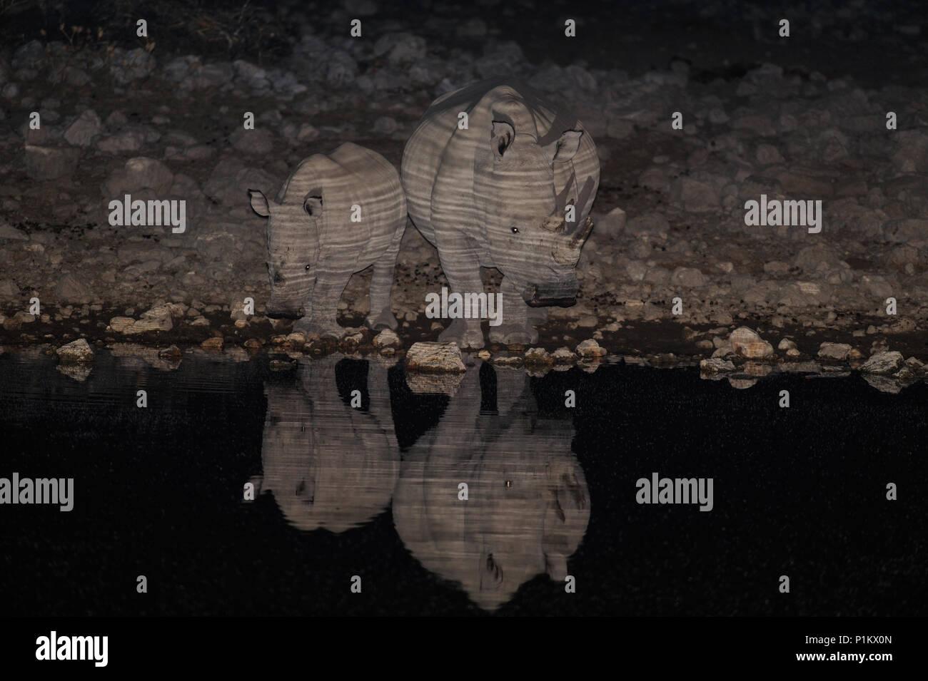 White rhino family at night, etosha nationalpark, namibia, (ceratotherium simum) - Stock Image