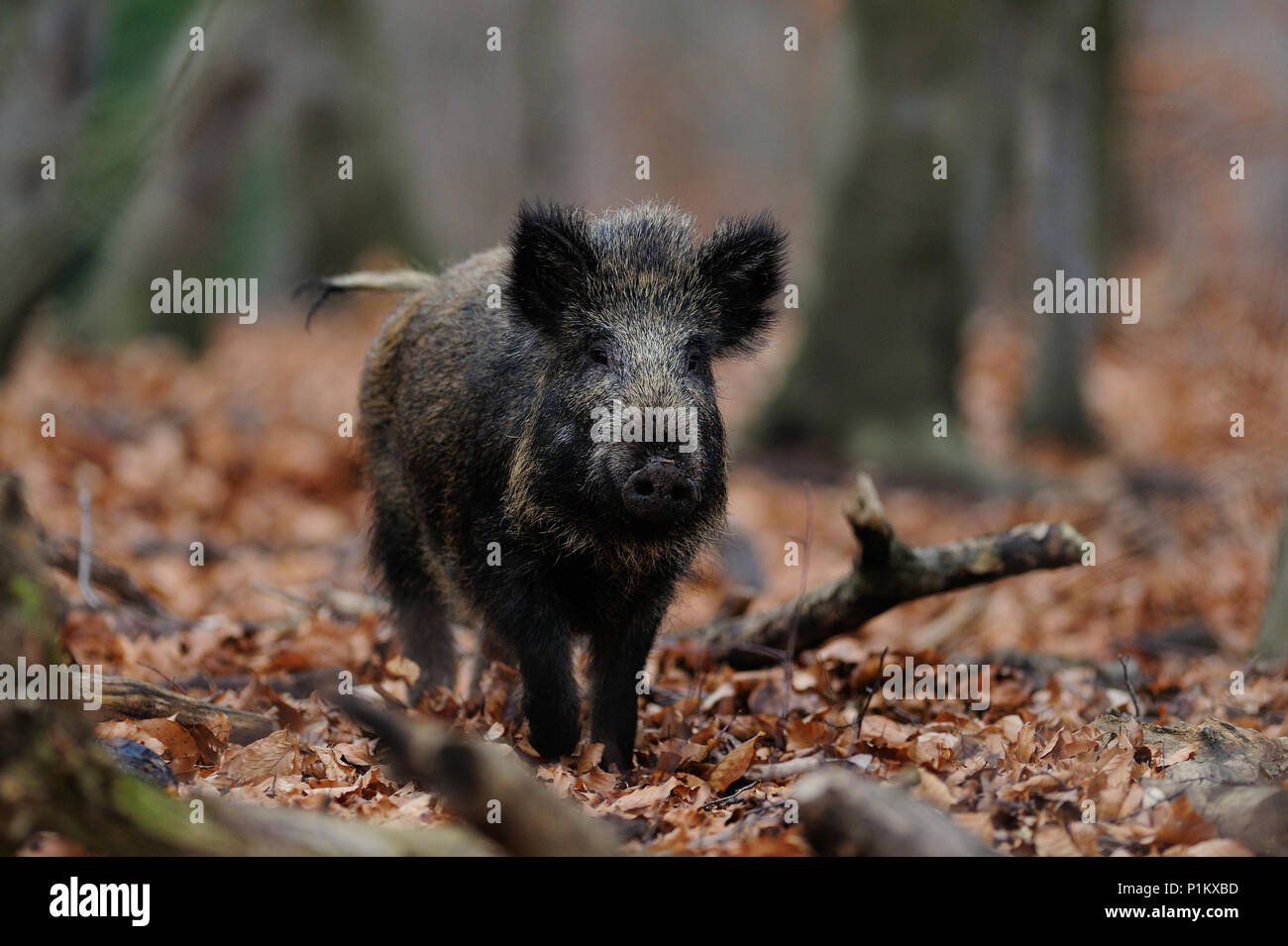 Wild boar in the forest, (sus scrofa) - Stock Image