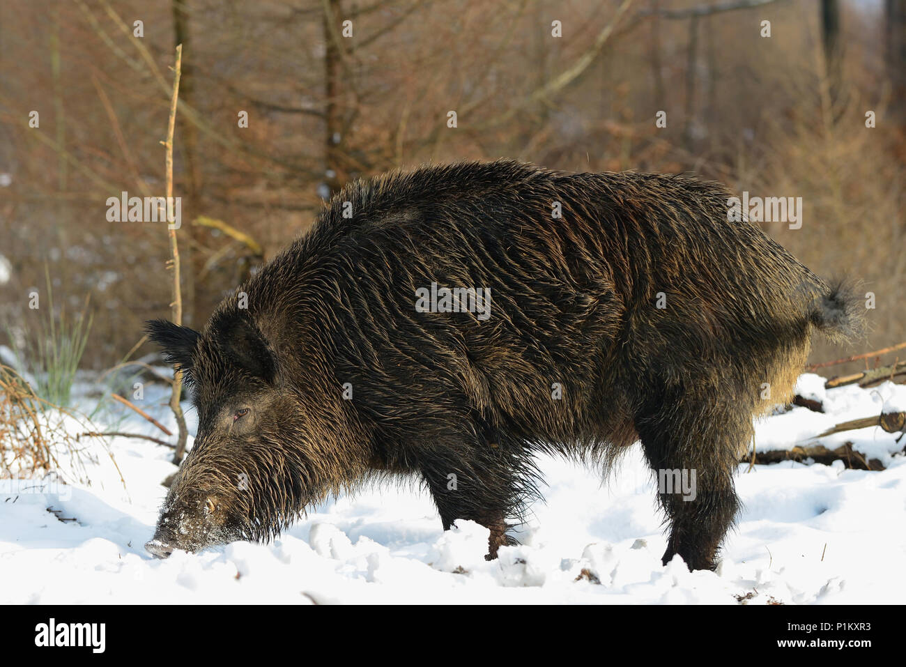 Wild boar male search feed in the forest, winter,  (sus scrofa) - Stock Image