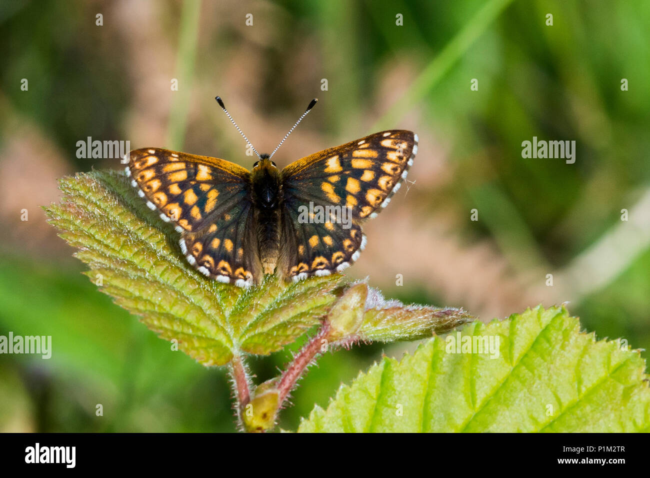 Duke of Burgundy butterfly, Whitbarrow, Lake District, Cumbria, England - Stock Image