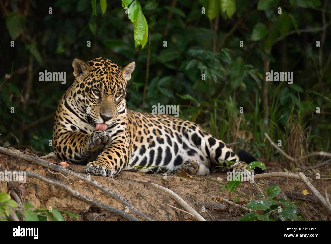A Jaguar grooms itself in the Pantanal of Brazil. - Stock Image