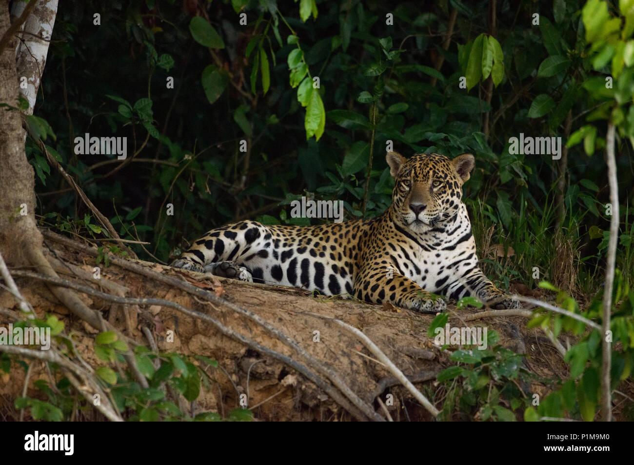 A wild Jaguar from the Pantanal of Brazil - Stock Image