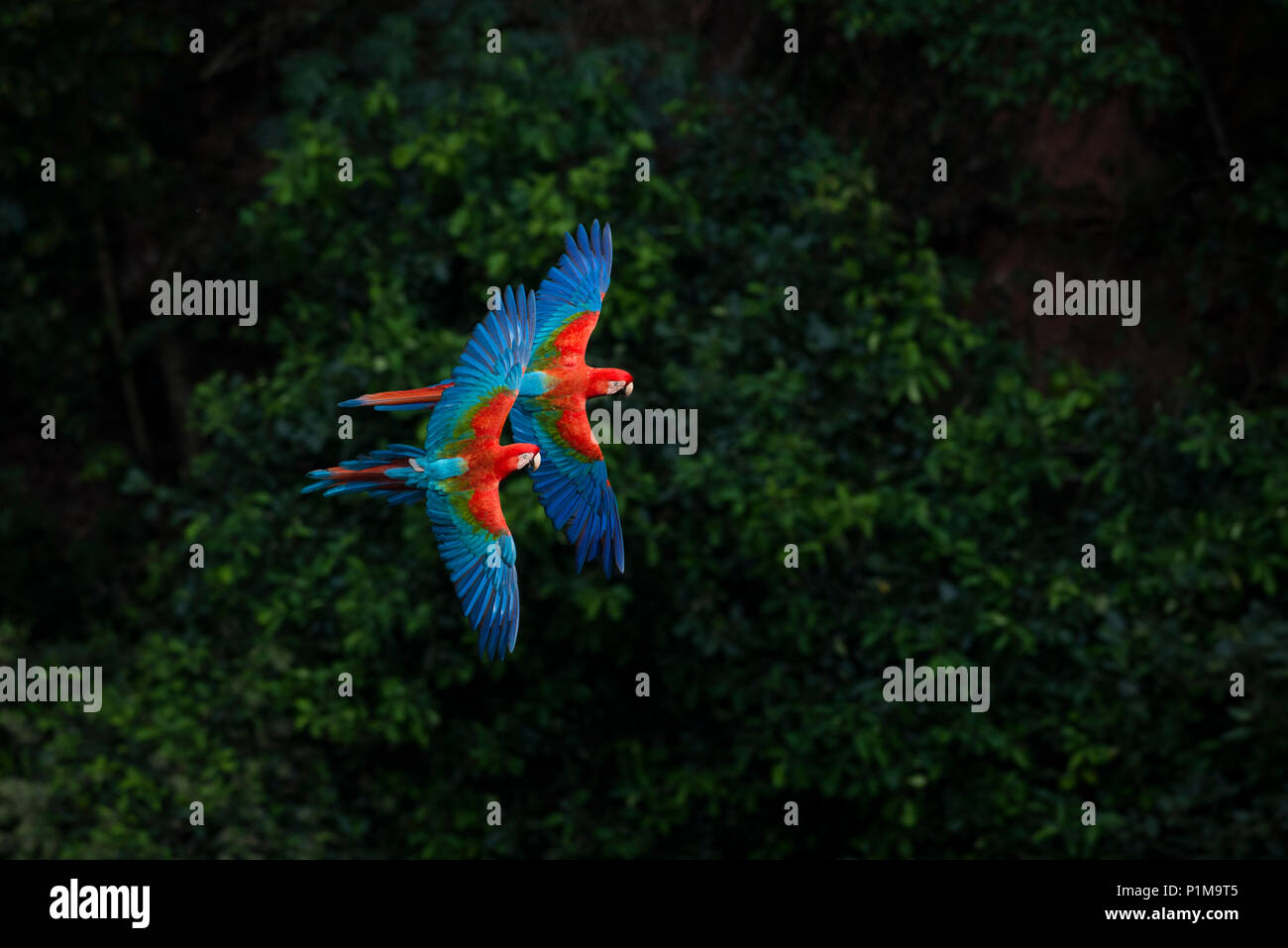 Red-and-green Macaws flying in Brazil - Stock Image