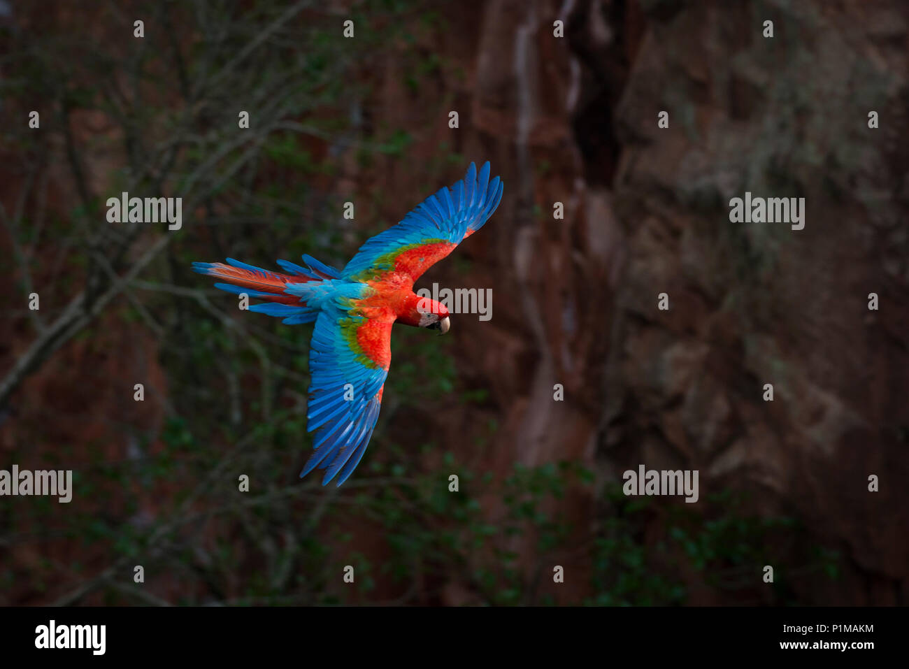 Red-and-green Macaw flying in Brazil - Stock Image
