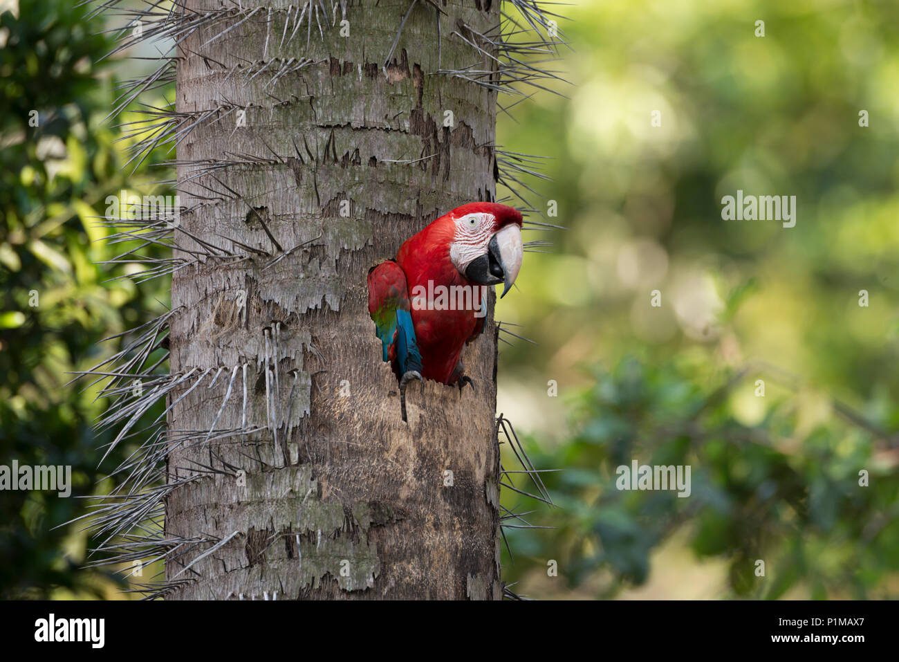 Red-and-green Macaw nesting in a palm tree in Central Brazil - Stock Image