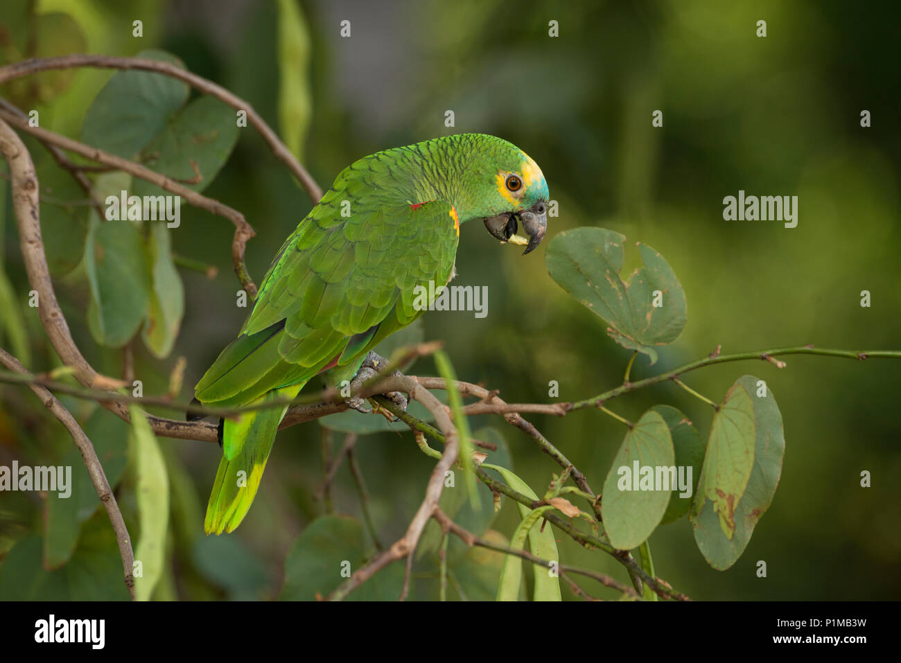 Blue-fronted Parrot (Amazona aestiva) from Central Brazil - Stock Image