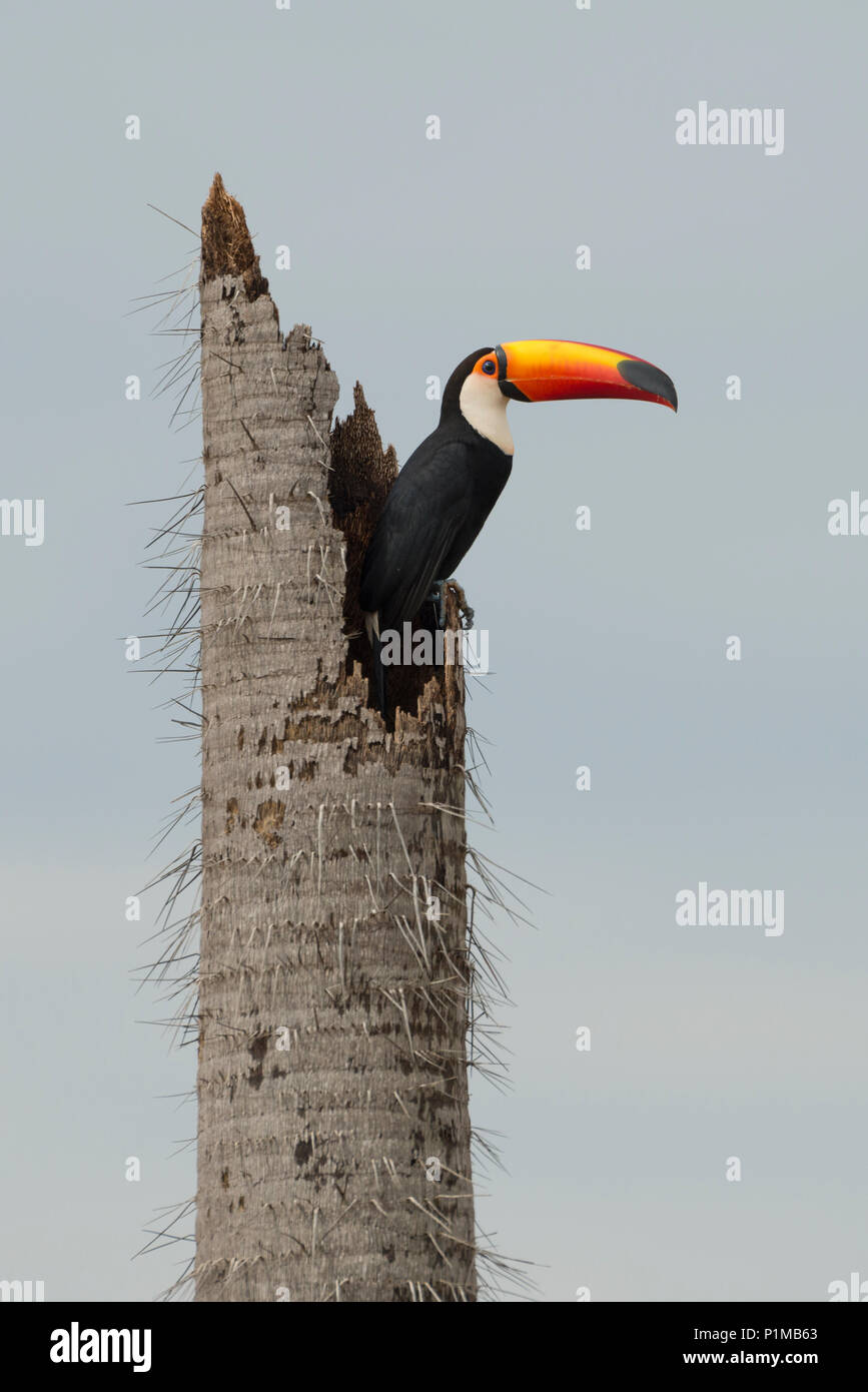 Toco Toucan (Ramphastos toco) nesting on a broken palm tree trunk in Brazil - Stock Image