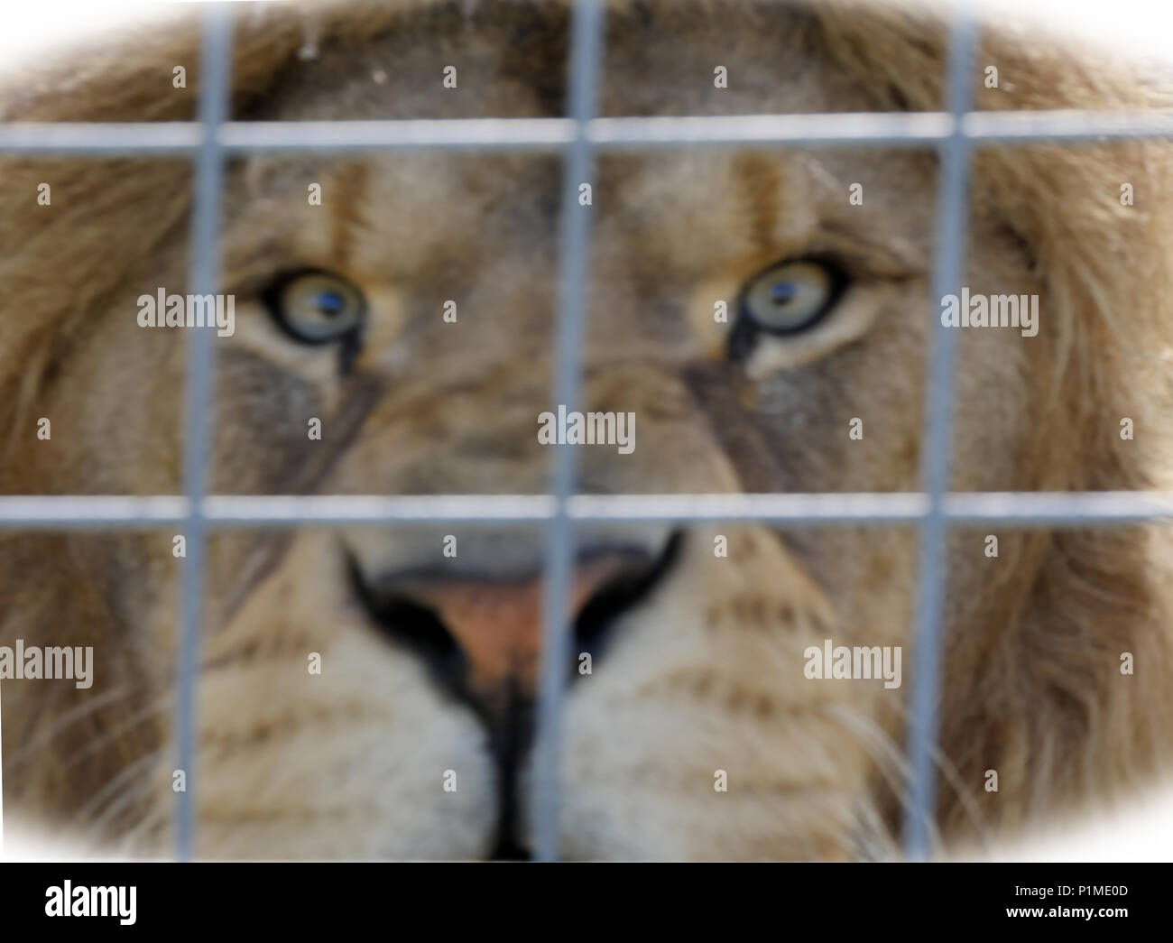 Intimidation, fear and terror represented by the intense stare of a lion. You are in danger. Pull focused digitally enhanced image. - Stock Image