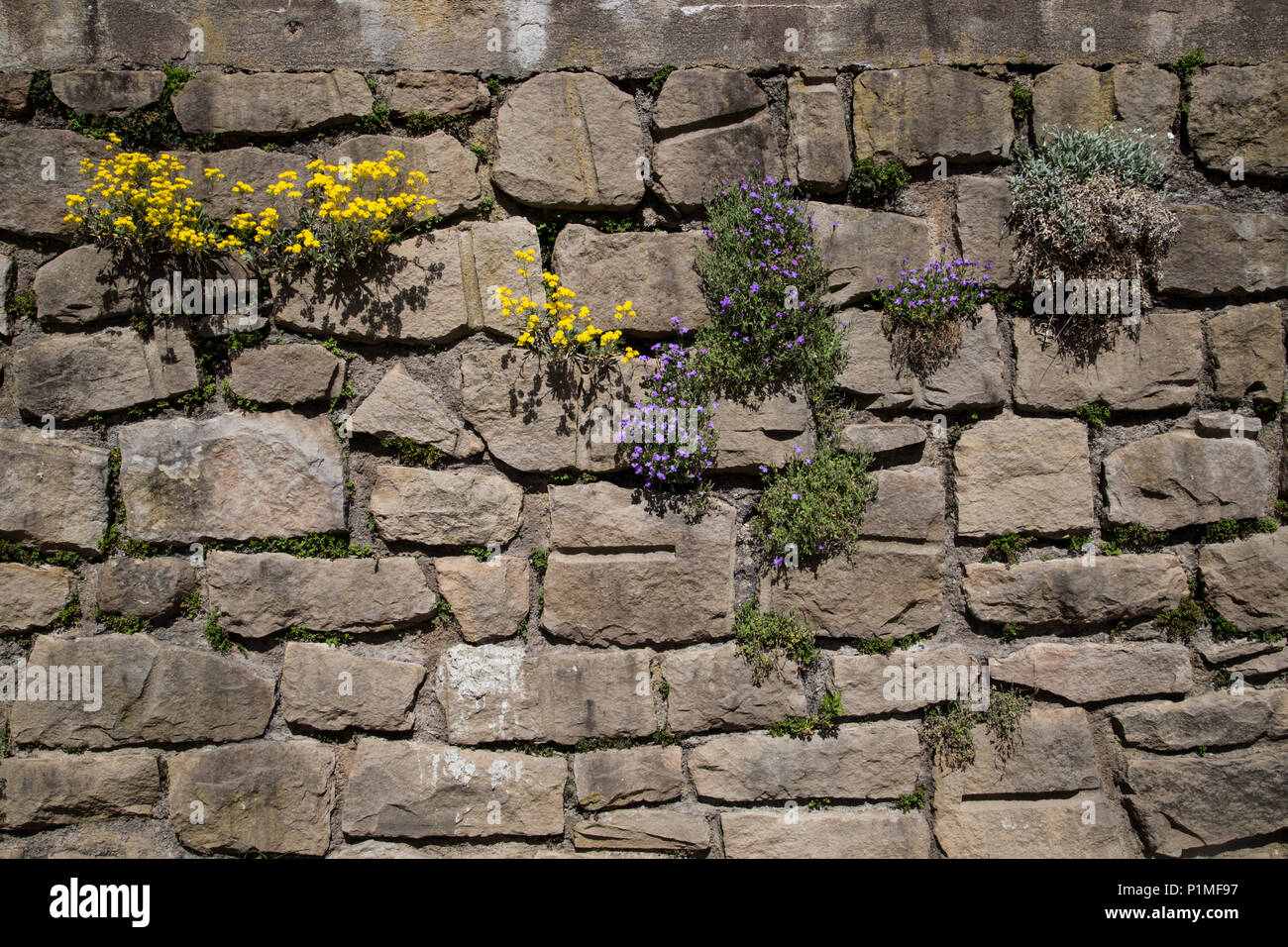 nature finding its way with flourishing thriving plants growing in old dry stone wall - Stock Image