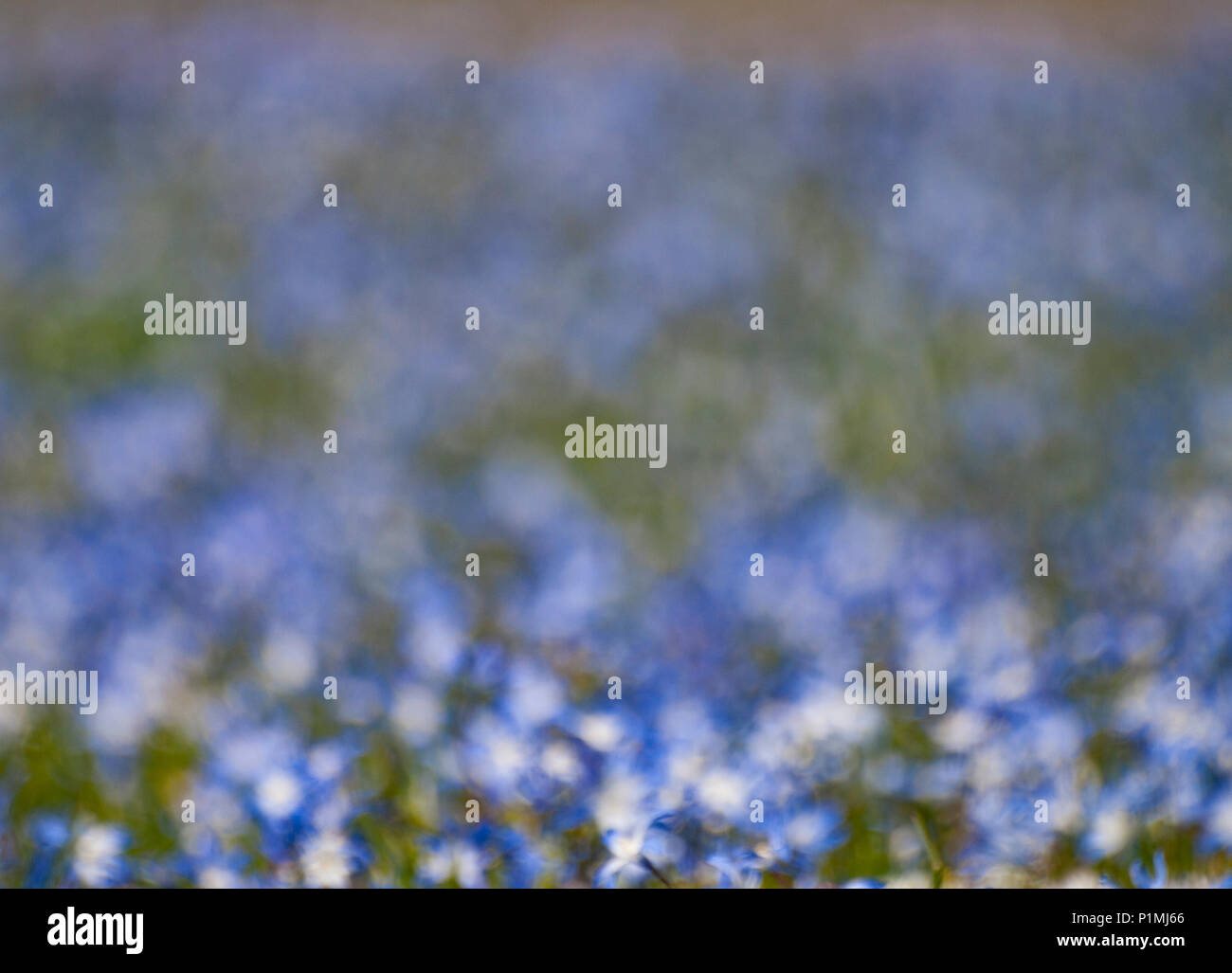 background blurred field of blue flowers stock photo 207592398 alamy