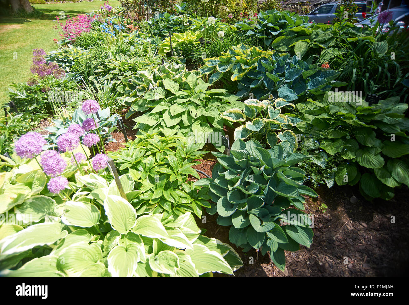 Hosta Plants Holehird Gardens Is An Extensive 10 Acre Site Located