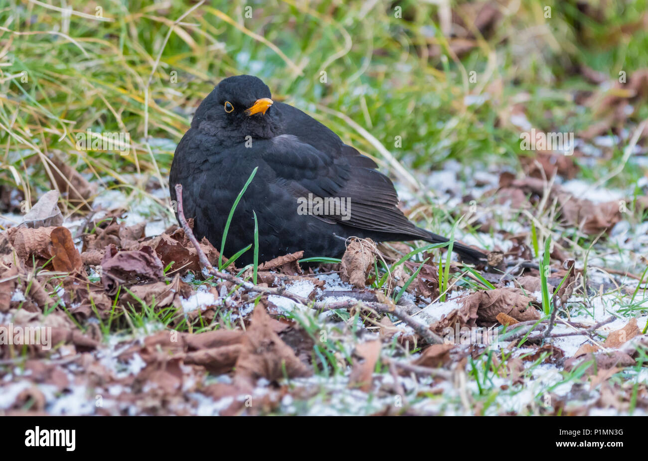Adult Common Blackbird (Turdus merula) on frost covered ground in Winter in West Sussex, England, UK. - Stock Image