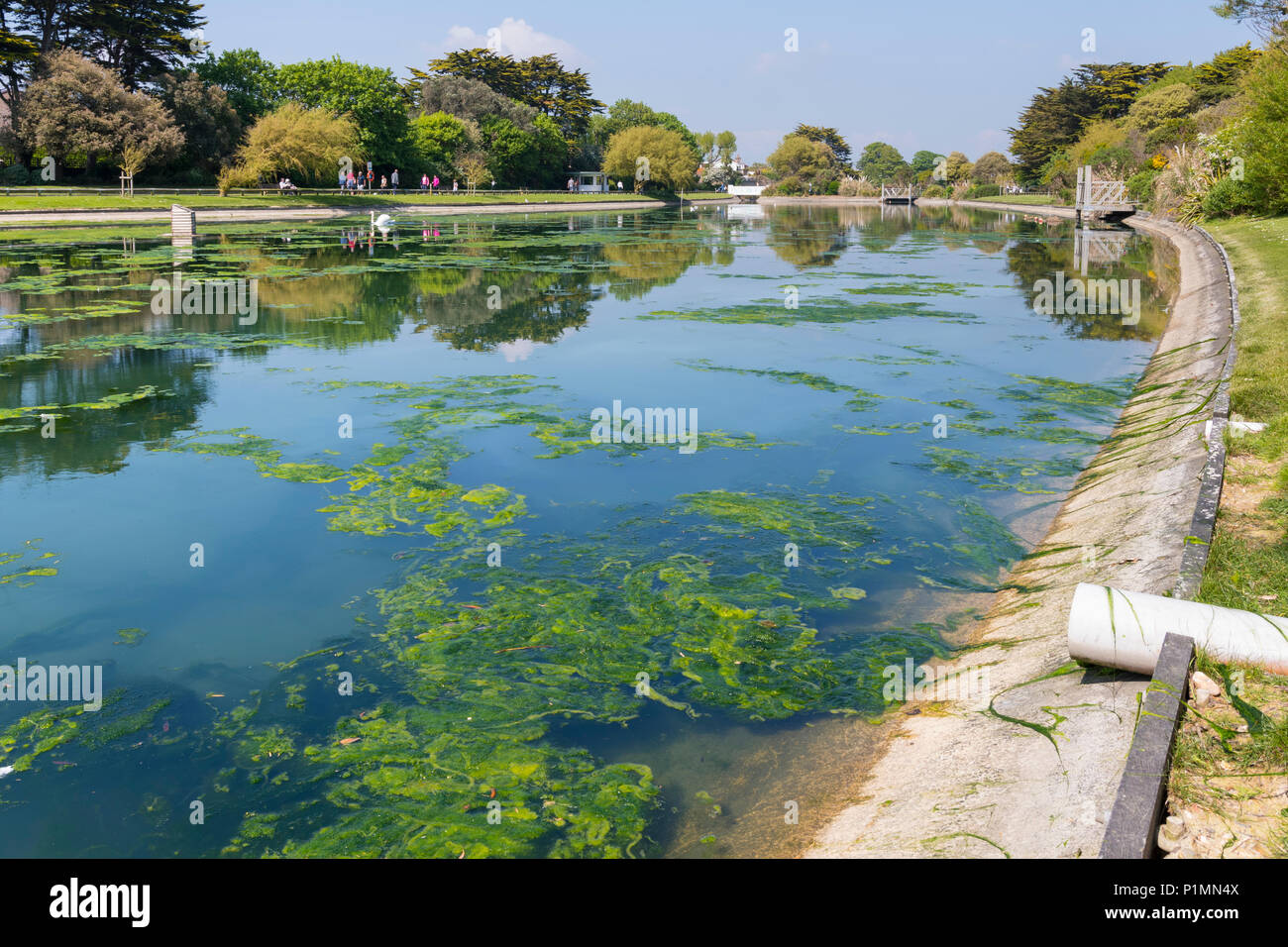 Green algae in a lake after warm weather in late Spring in Mewsbrook Park, Littlehampton, West Sussex, England, UK. Stock Photo