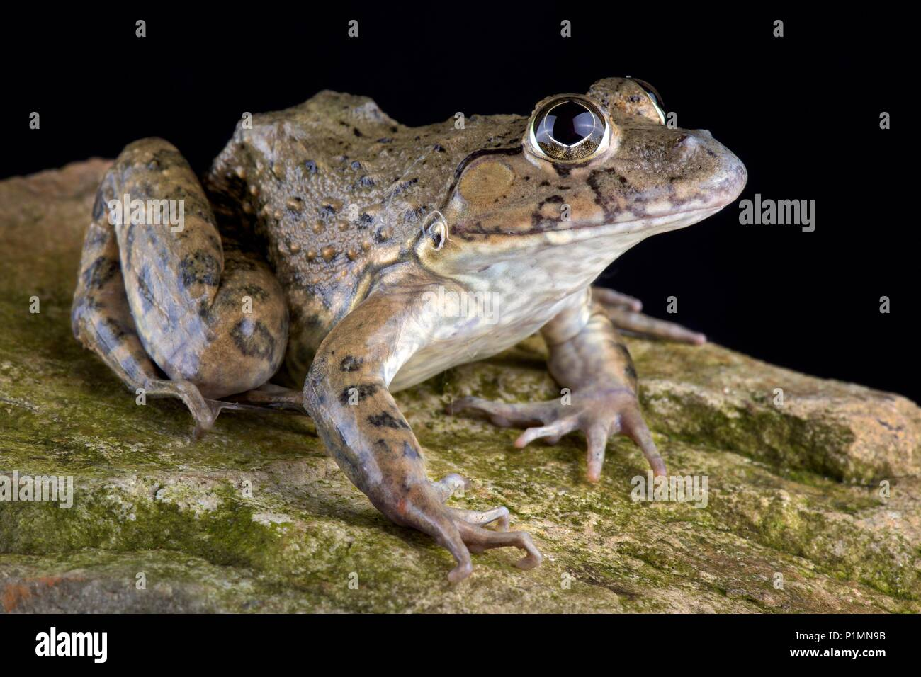 This species is widespread from central, southern and south-western China including Taiwan, Hong Kong and Macau to Myanmar through Thailand, Lao Peopl - Stock Image
