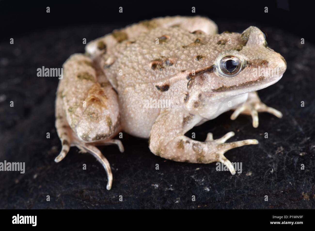 The Moroccan painted frog (Discoglossus scovazzi) is found in Morocco as well as in the Spanish North African enclaves Ceuta and Melilla. - Stock Image