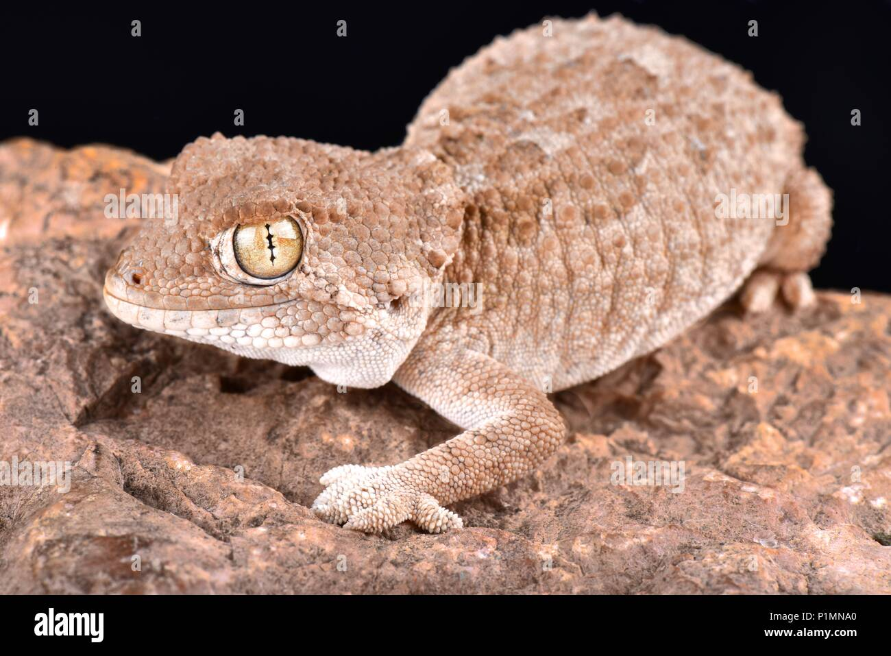 The helmeted gecko (Tarentola chazaliae) is native to Western Sahara, Mauritania and Morocco in zones near the coast where the humidity is high. - Stock Image
