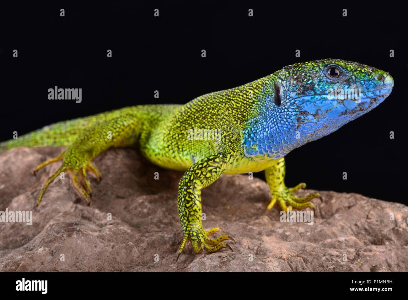 The European green lizard, Lacerta viridis, is a large (up to 40cm) lizard species. Males exhibit spectacular breeding colors. Stock Photo