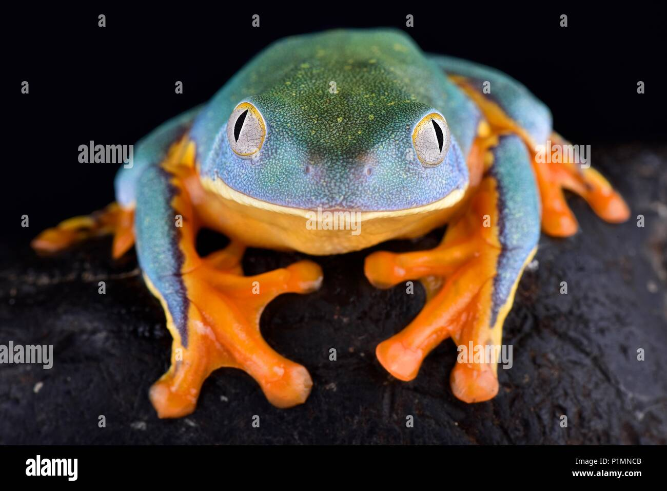 The Splendid leaf frog, Cruziohyla calcarifer, is a cryptic and beautiful tree frog species found from Central into South America. - Stock Image