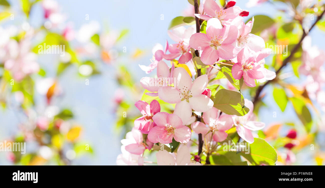 Hawaiian style floral background blossoming pink petals flowers hawaiian style floral background blossoming pink petals flowers close up fruit tree branch on blue sky background sunny day light izmirmasajfo