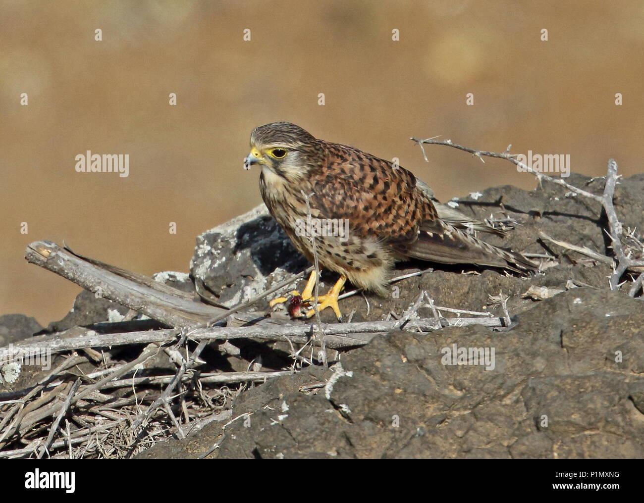 Common Kestrel (Falco tinnunculus alexandri) adult female on rocky mound with lizard prey  Santiago Island, Cape Verde                   April - Stock Image