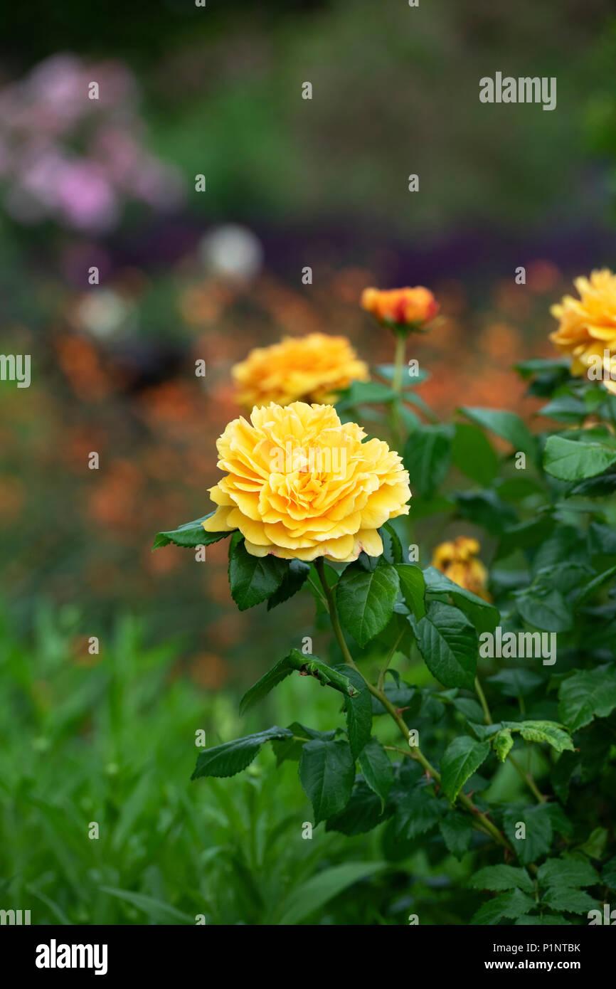 Rosa 'Leah tutu' / Hornavel'.  Repeat-flowering shrub rose - Stock Image