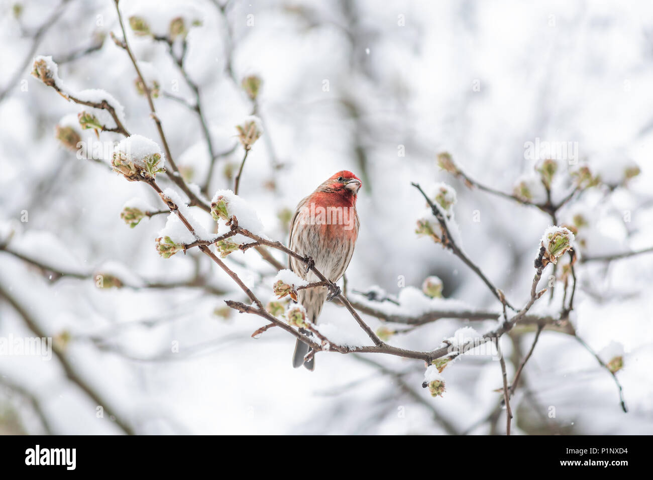 One male red house finch, Haemorhous mexicanus, bird sitting perched on tree branch during heavy winter spring snow colorful in Virginia, snow flakes  - Stock Image