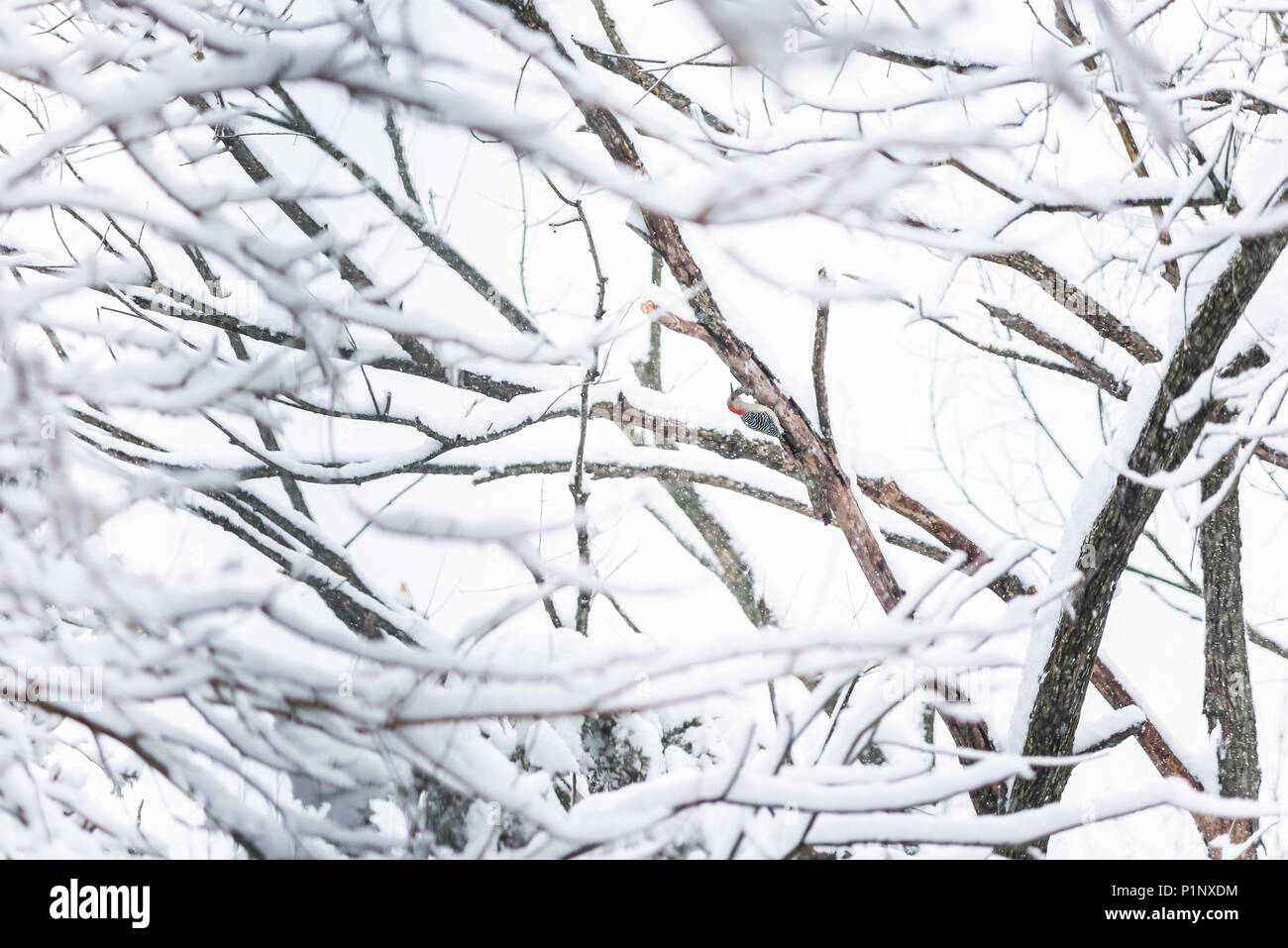 One red red-bellied bellied woodpecker bird perched on tree trunk during heavy winter spring snow colorful in Virginia, snow flakes falling - Stock Image
