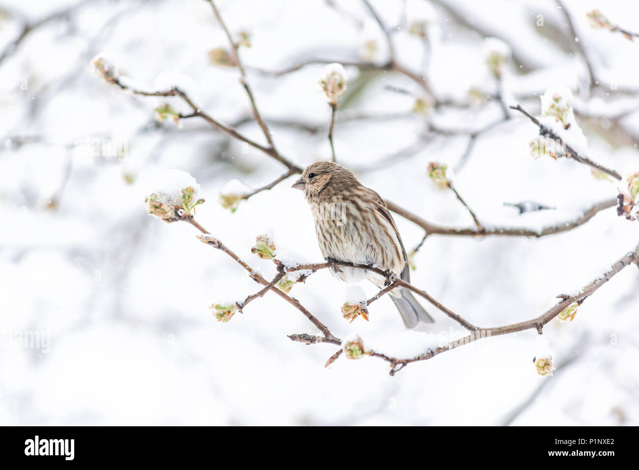 Female brown house finch, Haemorhous mexicanus, bird perched on tree branch during heavy winter in Virginia, snow flakes falling - Stock Image