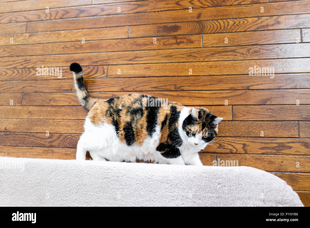 Flat Top View Down Of Calico Cat Scratching Nails On Carpet Wooden Floor  Steps Stairs Staircase Inside Indoor House, Home, Destroying It