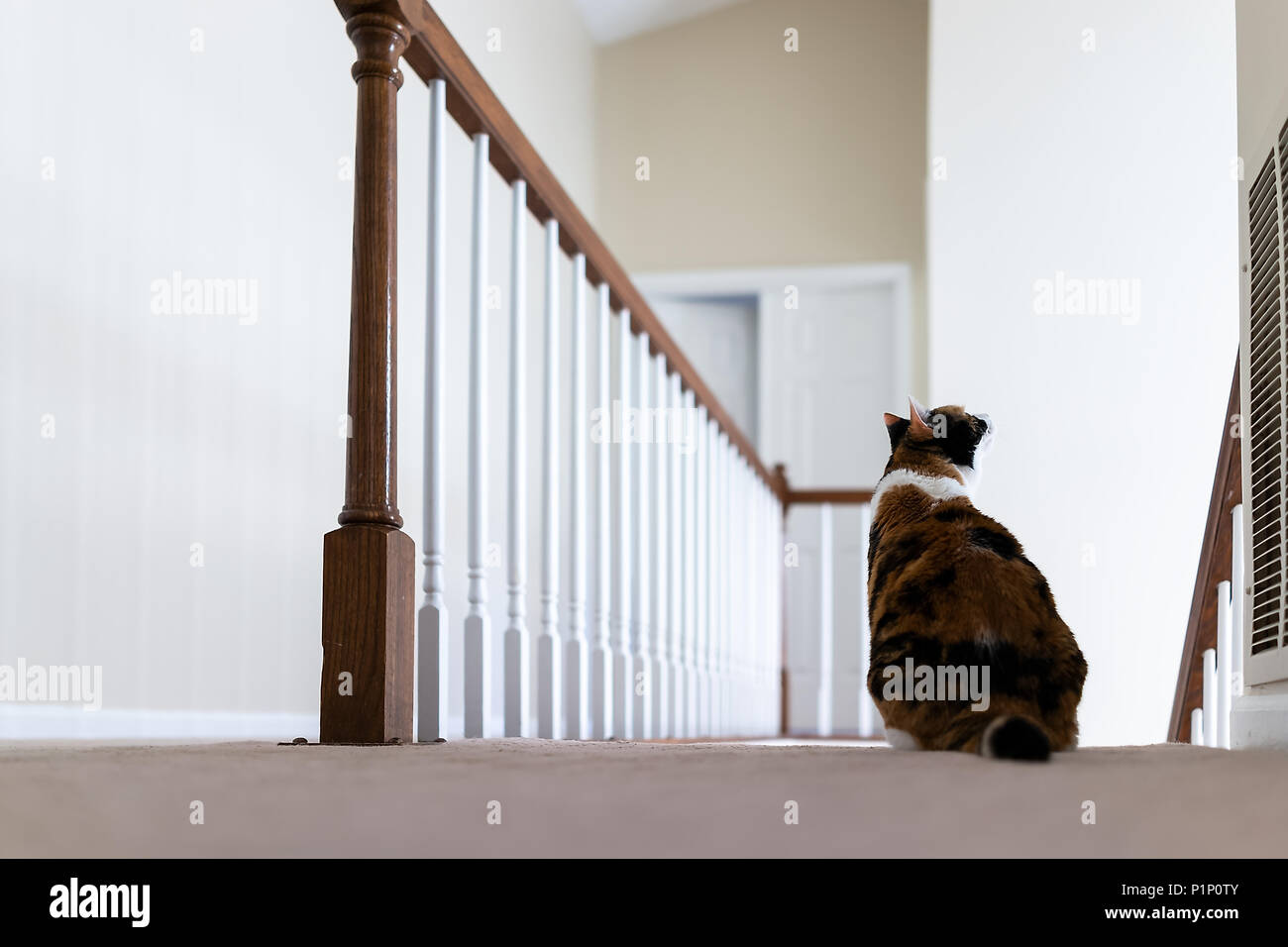 Calico Cat Sitting On Carpet Floor On Top Of Second Story Level Of House  Looking Up