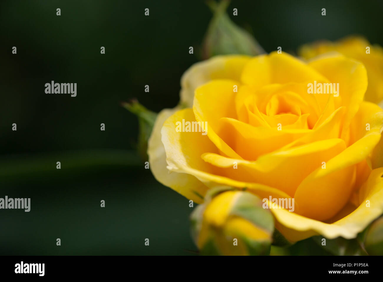 Yellow Rose Meaning Bright Cheerful And Joyful Create Warm Feelings