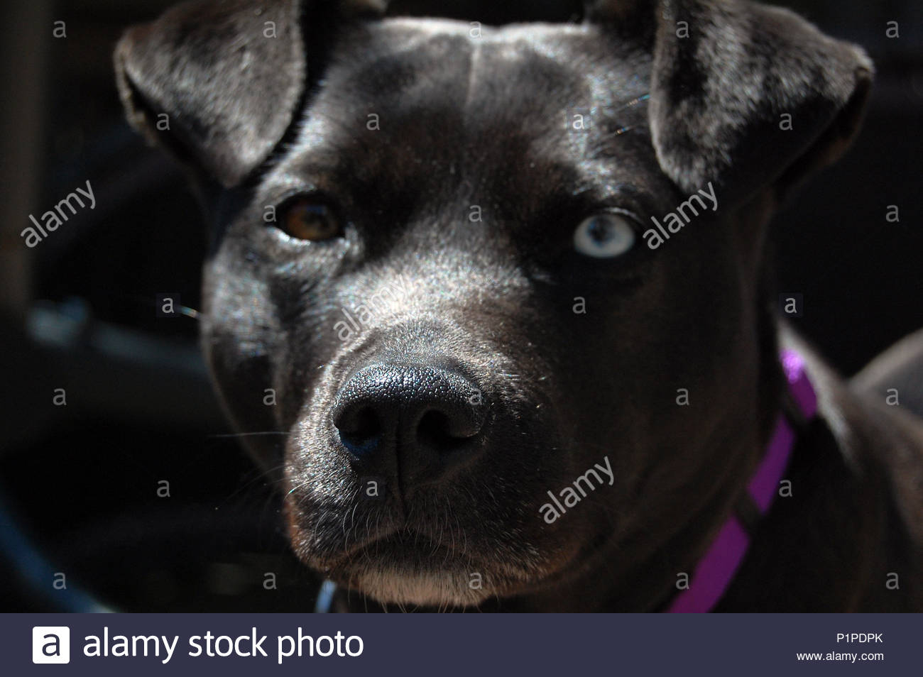 Black pitbull dog with heterochromia (two different colored eyes, one brown eye and one blue eye) - Stock Image