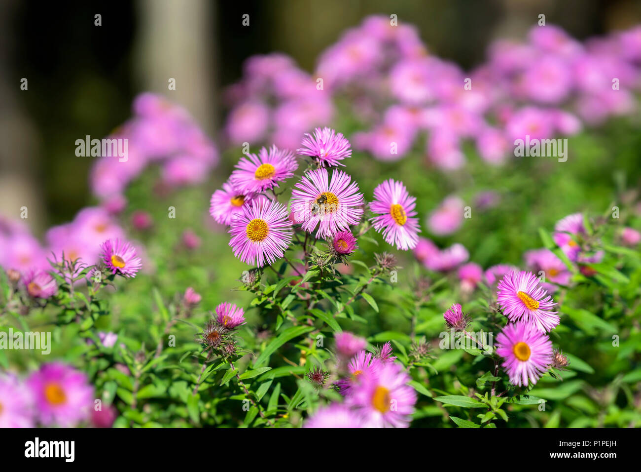 Bushy aster, Symphyotrichum dumosum, plant in the aster family with bee. Picturesque bright plant in autumn - Stock Image