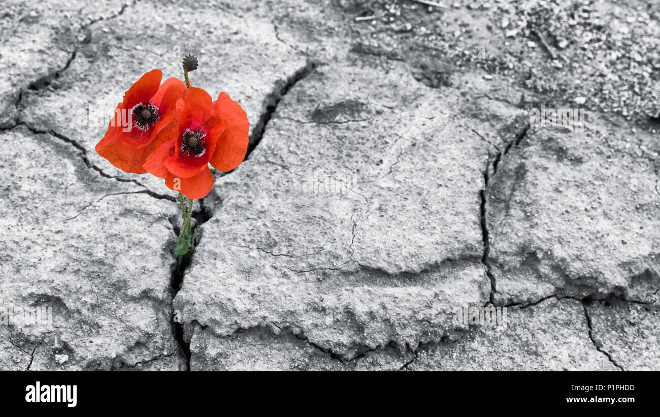 Red poppy blooms in dried field. Papaver rhoeas. Two flowering corn poppies in cracked arid soil. Hope and hardiness idea. Black and white background. - Stock Image