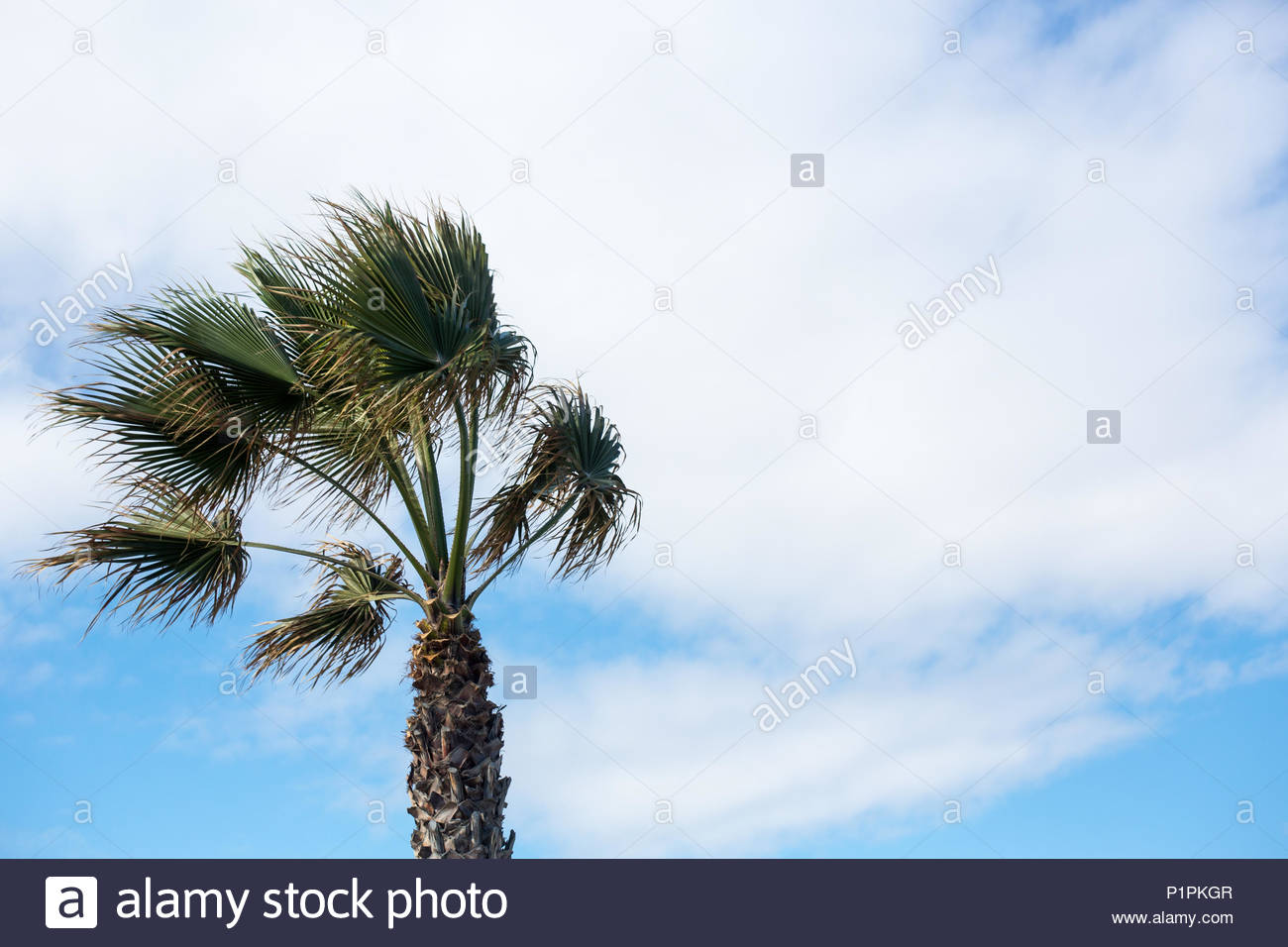 palm tree in a windy day - Stock Image