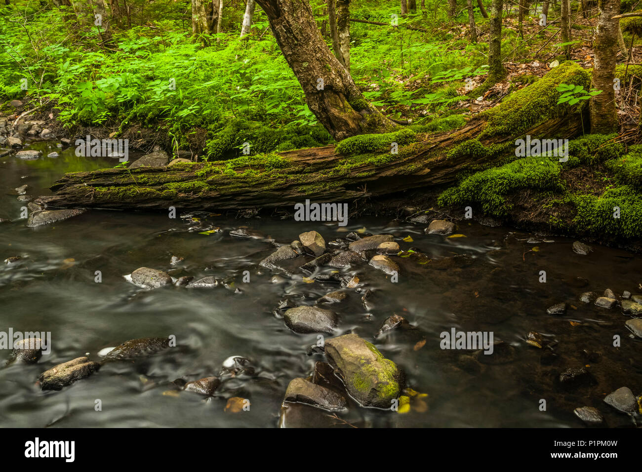 A moss covered old tree trunk half rests in a brook in a forest in Middle Sackville; Nova Scotia, Canada - Stock Image