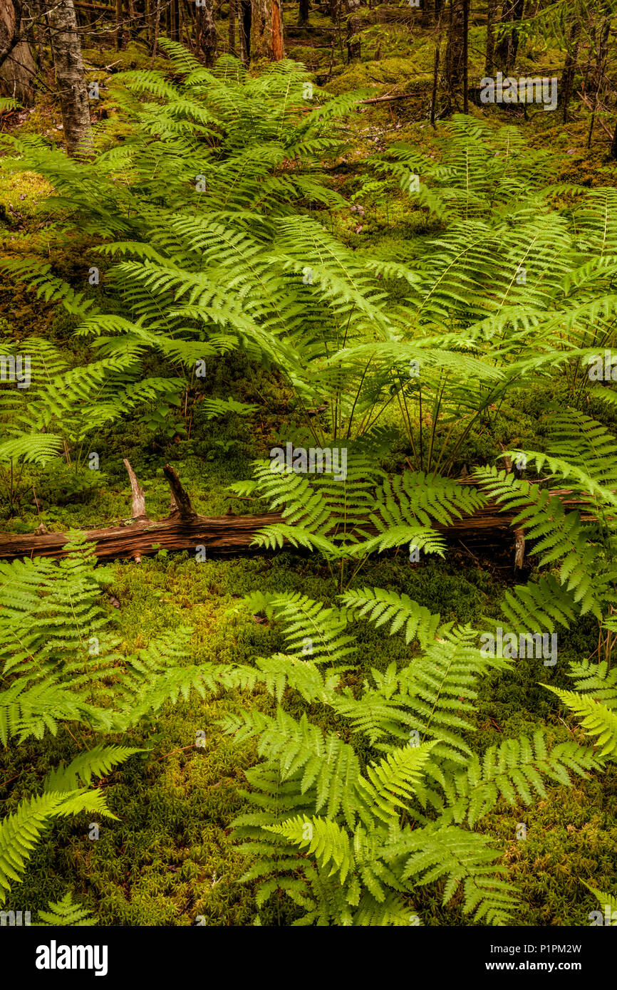 A luxuriant patch of early Summer Cinnamon ferns grows in thick, moist moss in a forest; Middle Sackville, Nova Scotia, Canada - Stock Image