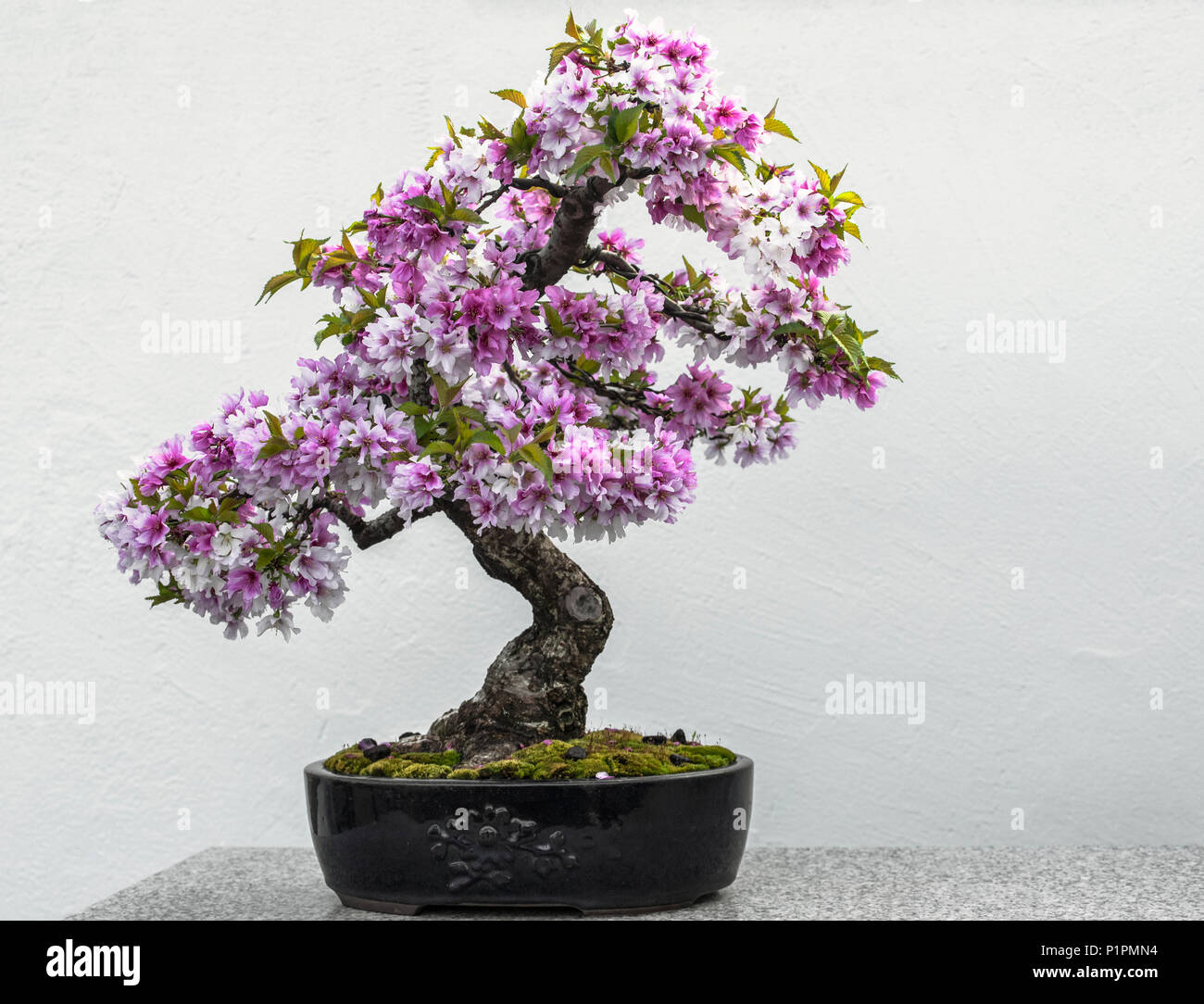 Bonsai Tree With Purple Blossoms Sitting On A Granite Surface Botanical Gardens Montreal Quebec Canada Stock Photo Alamy