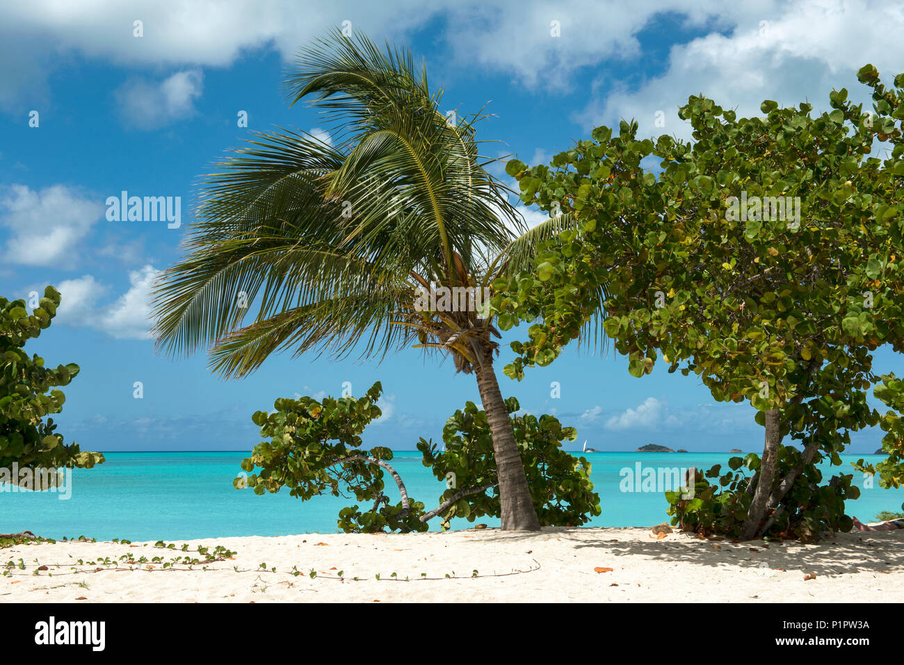 Trees growing in the white sand on the shore of a tropical island, Jolly Harbour; Antigua and Barbuda - Stock Image