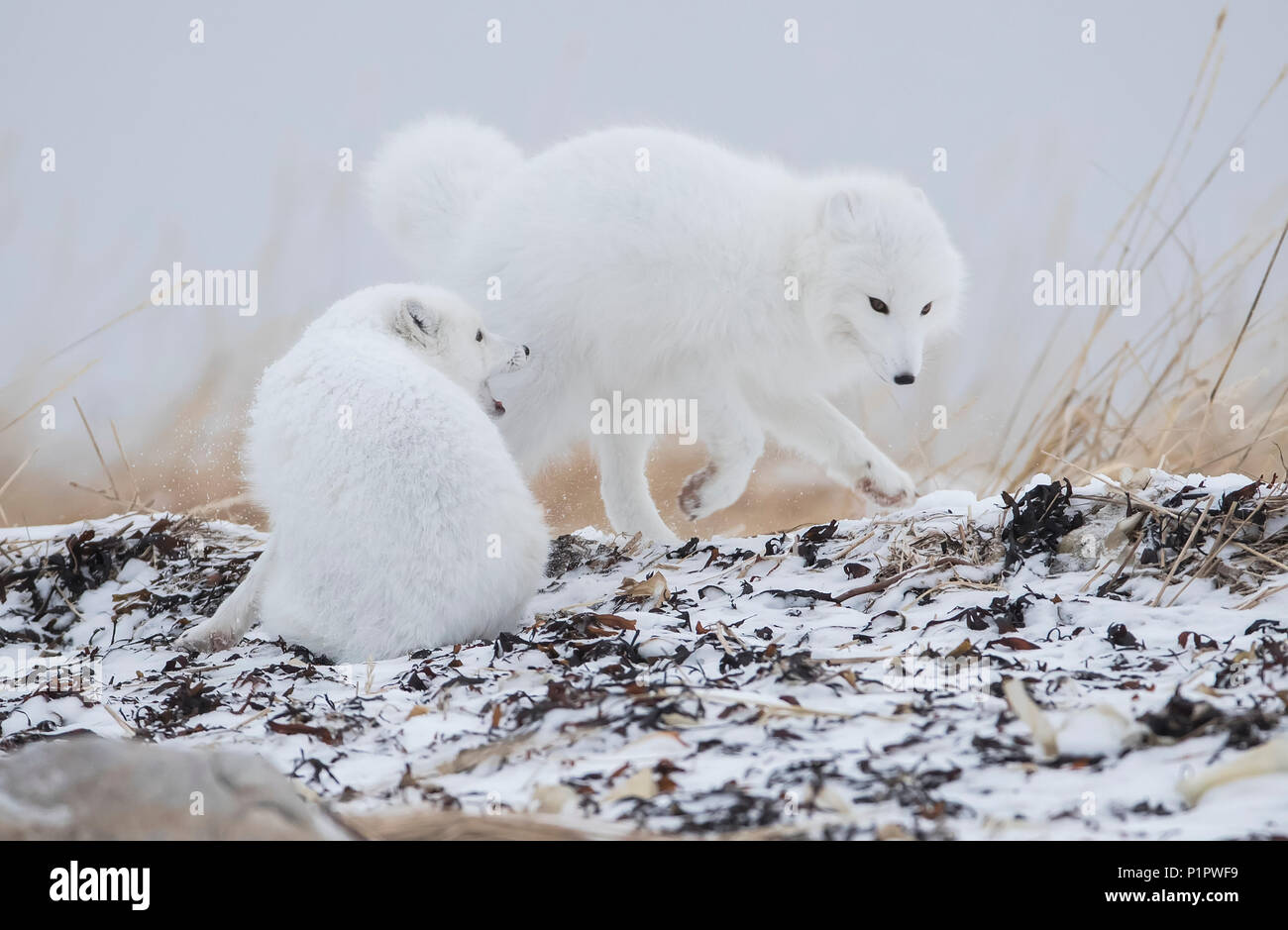 Arctic foxes (Vulpes lagopus) playing around in the snow on the shores of Hudson Bay; Churchill, Manitoba, Canada - Stock Image