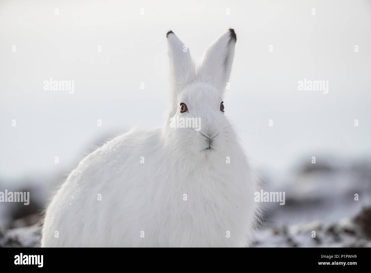 Arctic hare (Lepus arcticus) in the snow; Churchill, Manitoba, Canada - Stock Image