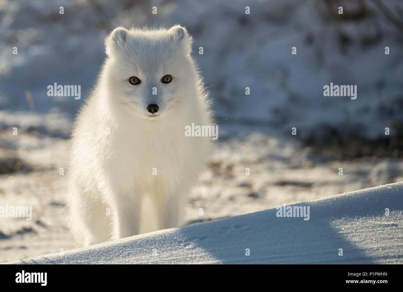 Arctic fox (Vulpes lagopus) in the snow; Churchill, Manitoba, Canada - Stock Image