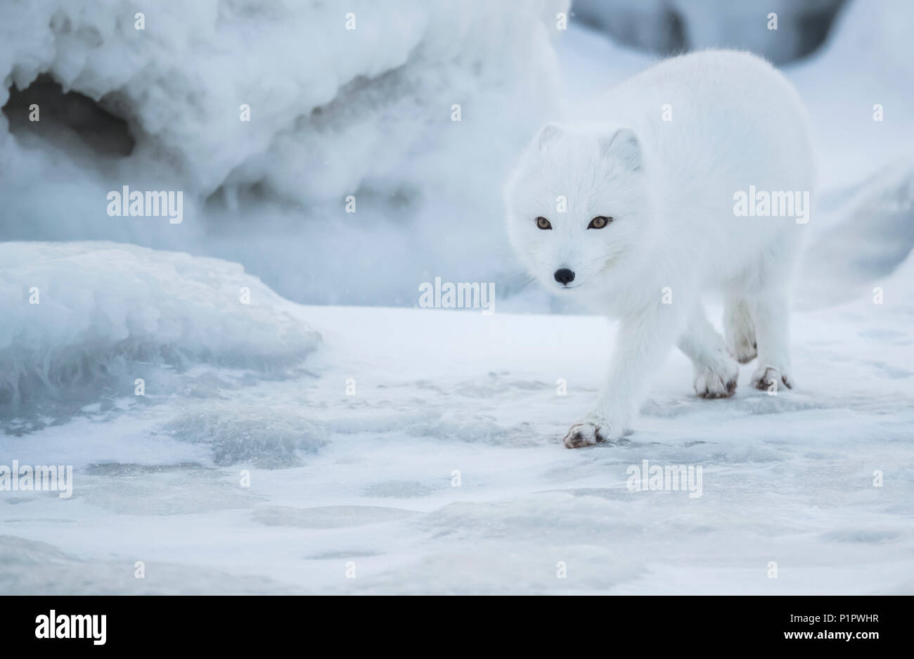 Arctic fox (Vulpes lagopus) walking in the snow; Churchill, Manitoba, Canada - Stock Image