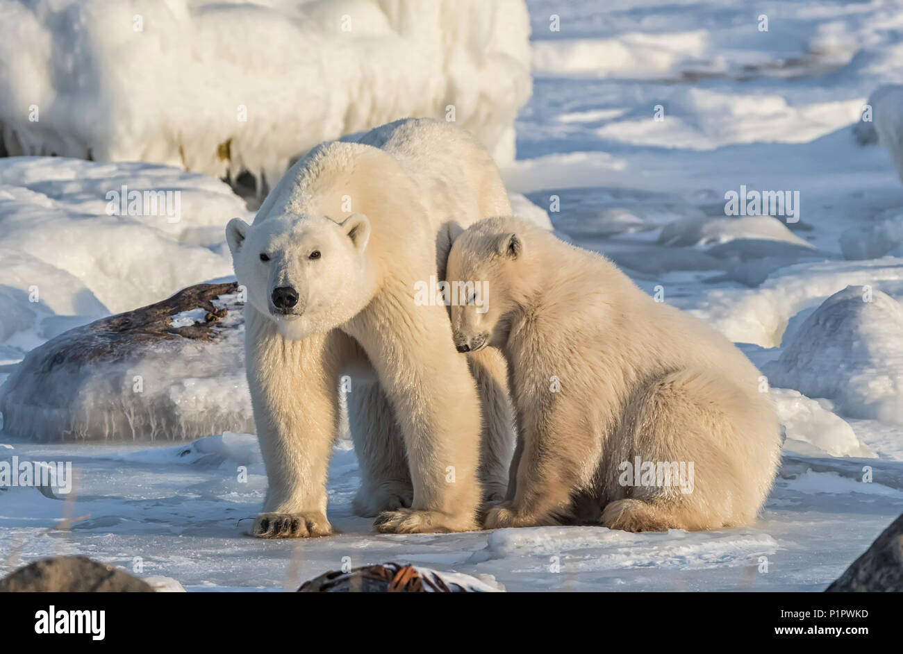 Mother and cub Polar bears (Ursus maritimus) in the snow; Churchill, Manitoba, Canada - Stock Image