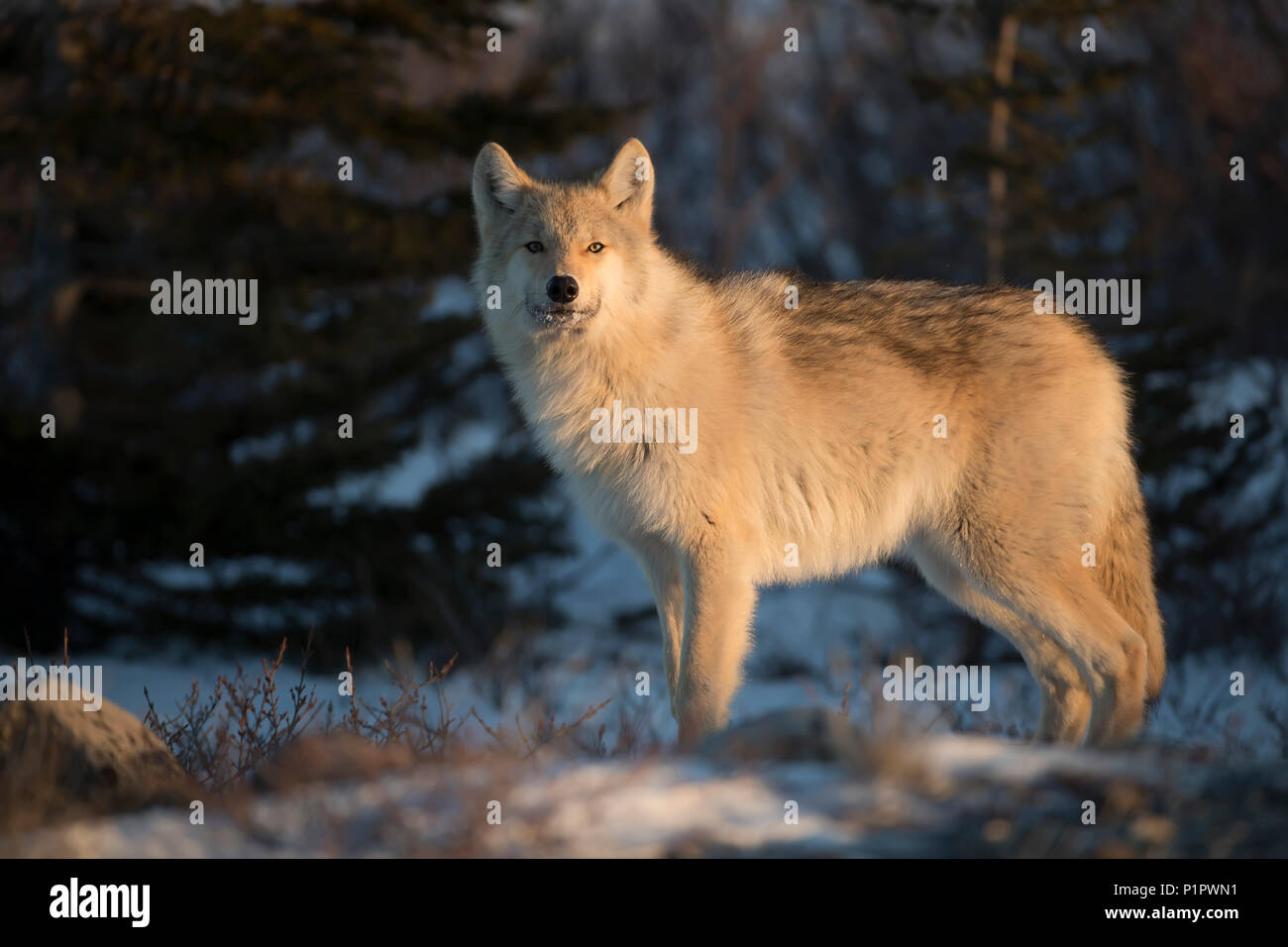 Northwestern wolf (Canis lupus occidentalis) in the setting sun; Churchill, Manitoba, Canada - Stock Image