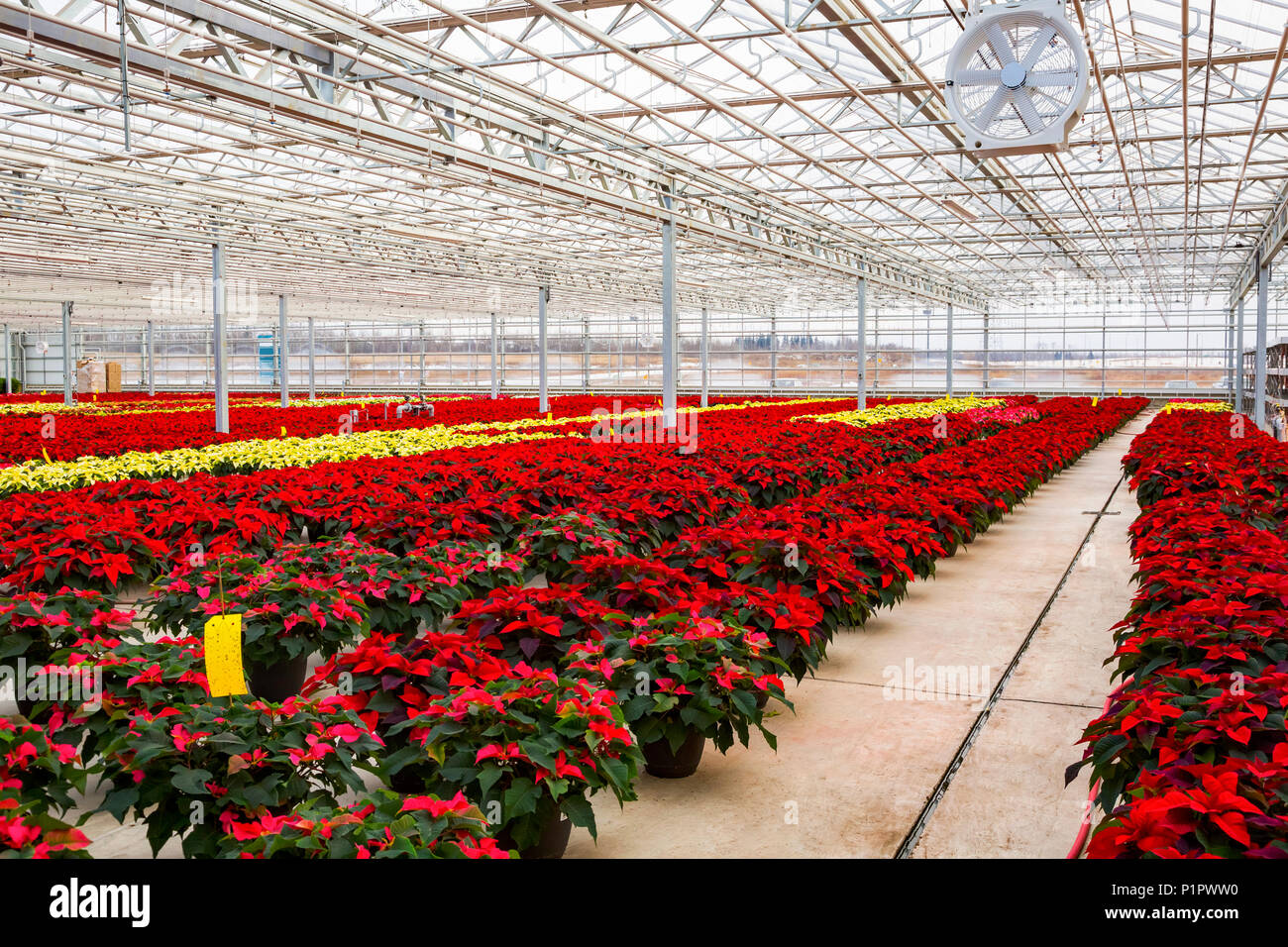 Rows of multi-coloured poinsettias that were grown in a greenhouse operation nearing the Christmas season; St. Albert, Alberta, Canada - Stock Image